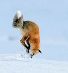 Red Fox by Richard Peters