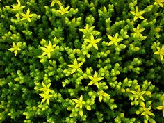 Sedum acre – Goldmoss Stonecrop - See more at: http://worldofsucculents.com/sedum-acre-goldmoss-stonecrop-mossy-stonecrop