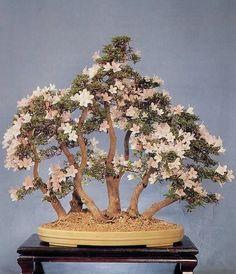 ♦ᴥHow do you like this pretty tree?♣☺       #BonsaiInspiration