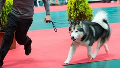 How to Turn Your Dog Into a Show Dog and Start Competing