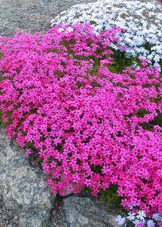 Kukkapenkki for dummies - Starbox Landscaping Plants, Garden Plants, Small Gardens, Outdoor Gardens, Pink Perennials, Gardening For Dummies, Drought Resistant Plants, Backyard Plan, Annual Plants