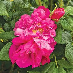Among the hardiest of all roses, this rugosa-type shrub bears magenta-purple blooms! http://www.bhg.com/gardening/flowers/roses/fragrant-garden-roses/?socsrc=bhgpin022615roseraiedelhay&page=16
