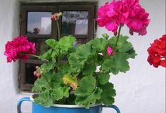 how to bring geraniums indoors for the winter, either in a dormant state, as cuttings, or as flowering container plants. Container Flowers, Container Plants, Overwintering Geraniums, Recycled Planters, Better Homes And Gardens, Cut Flowers, Shrubs, Flower Pots, Planting Flowers
