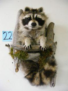 Beautiful New 3 Baby Raccoon Taxidermy Mount Art Cabin