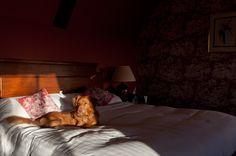 Alfie relaxing at Stapleford Park Hotel