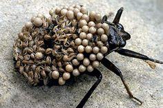 Besouro-d'água-gigante.  Tem um hábito estranho: a fêmea coloca os ovos nas costas do macho, que fica com jeitão de alienígena. A espécie mede cerca de 10 centímetros, vive em lagos e córregos (principalmente na Ásia) e tem fama de atacar humanos. A picada é considerada a mais dolorosa entre os insetos! http://atimais.blogspot.com.br