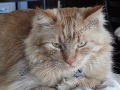 Champ, cat, orange Champs, Cat, Orange, Boys, Pictures, Photography, Animals, Baby Boys, Animais
