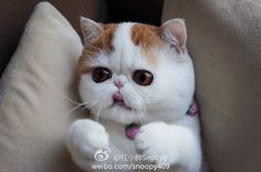 Snoopy the Exotic Shorthair Animals And Pets, Baby Animals, Cute Animals, Princess Monster Truck, Flat Faced Cat, Gato Animal, Exotic Cats, Exotic Shorthair, Kinds Of Cats
