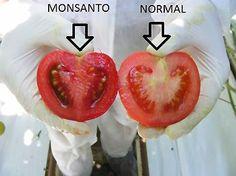 imágenes de tomates trasgénicos y no transgénicos - Buscar con Google