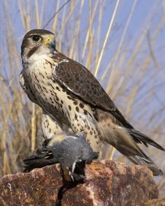 adult Prairie Falcon with Gambel's Quail