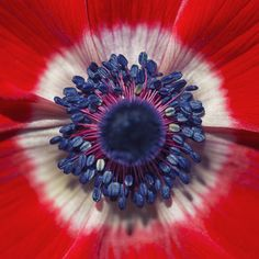 https://flic.kr/p/z9DeHB | ~ Scarlet Beauty ~ | The Anemone Hollandia is a bold red flower with a contrasting white center and striking cobalt blue stamens, flaring in every direction...  They are perfect for brightening sunny front borders or cut-flower bouquets.