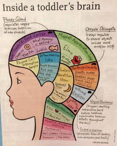 """Scientifically accurate """"Inside A Toddler's Brain"""" such as Phone Call Interuption Ganglia, Cartoon Addiction Lobe, Toy Recogniton Cortex and Ptooey Gland."""