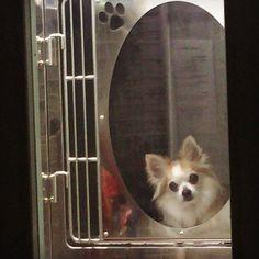 迎えにいったのにドア越しでみているはずなのに気付かないナナ  #dekachiwa #chihuahua #dog #チワワ #ふわもこ部 #chihuahuaofinstagram