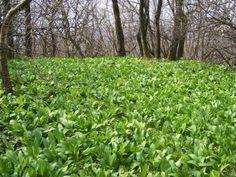 medvehagyma eltevése Plants, Plant, Planting, Planets