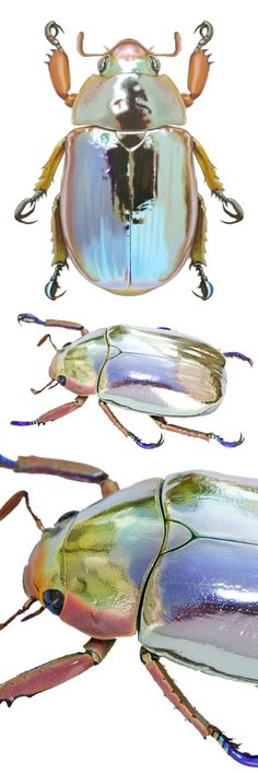 iridescent | mother-of-pearl | gleaming | shimmering | metallic rainbow | shine | opalescent | Iridient | Chrysina chrysargyrea