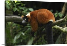 Red-ruffed Lemur resting, Masoala National Park, Madagascar