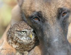 Tiny Owl And Giant Shepherd Dog Have The Cutest Interspecies Friendship You'll Ever See