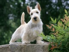 Scottish Terrier. YES scotties can be white
