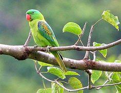 Loires, Lovebirds & Old World Parrot family Psittaculidae
