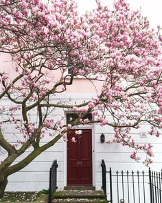 "8,647 Beğenme, 250 Yorum - Instagram'da Meandering Macaron (@meanderingmacaron): ""It's definitely feeling like Spring in London  this one is my favourite Magnolia tree this season…"""