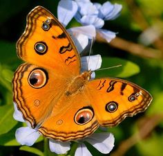 ~The Peacock Pansy (Junonia almana) is a beautiful butterfly that is mostly found in South Asia~