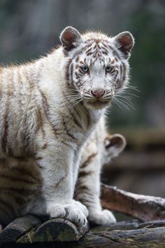 Another one of the white tiger cubs, posing well and looking at me.