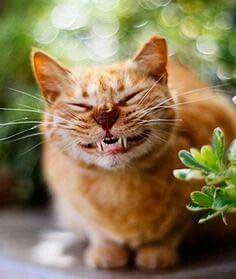 According to a study in which researchers applied a model of human personality traits to pet cats, these feline purr-sonality types are Funny Cat Faces, Funny Cat Photos, Funny Cat Videos, Funny Animal Pictures, Funny Cats, Grumpy Cats, Animals And Pets, Funny Animals, Cute Animals