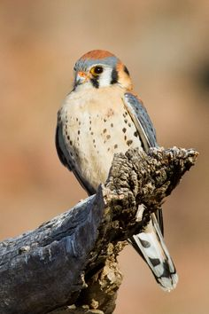 The American Kestrel: