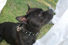 Dog ring bearer www.suzanneriley.com.au Suzanne Riley Marriage Celebrant Sunshine Coast