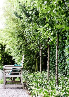 The fence is draped in Boston ivy. Planted apart, the pleached Pyrus 'Chanticleer' are underplanted with star jasmine. // A Garden Of Contrasts That Works Harmoniously Contemporary Garden Design, Landscape Design, Contemporary Landscape, Ornamental Pear Tree, Boston Ivy, Victorian Gardens, Victorian Era, Pyrus, Fence Landscaping
