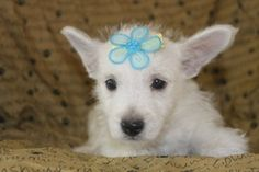 The puppy of the day is a Westie puppy   This westie puppy for sale is the puppy of the day.   http://www.clearlyinternet.com/