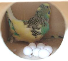 Breeding Budgies and Parakeets doesn't have to be a big ordeal! Here at the budgie cage we have some information for those interested in budgie breeding. Baby Parakeets, Budgies Parrot, Parrots, Breeding Budgies, Cute Birds, Bird Species, Beautiful Birds, Animals And Pets, Budgies