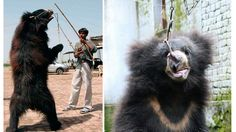 Dancing bears in India are sloth bears that have been poached from the wild as tiny cubs, often by killing their mother.The people that then train the bea...