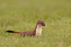 Thousands of time lapse cameras captured the changing seasons for the four-episode series. This photo shows a stoat in the spring
