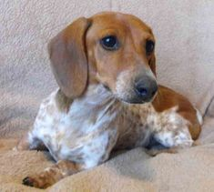 dachshund-  She looks a lot like my Doxie, Ruby!!!!