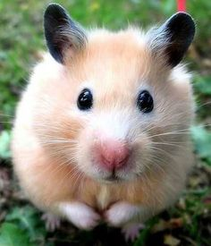 Hamsters ~ kind of reminds me of Radar's sweet little face