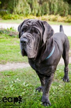 ⏪ Neapolitan Mastiff (Mastino Napoletano) ⏩  large, ancient dog breed. This massive breed is often used as a guard and defender of family and property due to their protective instincts and their fearsome appearance.  The Neapolitan Mastiff rarely barks unless under provocation, renowned for sneaking up on intruders as opposed to first alerting them of its presence. They areextremely intelligent dogs with a tendency to be independent thinkers.