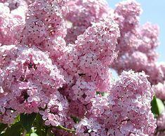 Syringa vulgaris 'Roosa'. (Alkup. Herttoniemen siirtolapuutarha.)