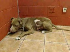 PLEDGES AND RESCUE NEEDED! AUGUSTUS HAS AN OLD HEALED WOUND ON HIS LEFT SIDE AND PUNCTURE WOUNDS ON HIS FACE. A4789234 My name is Augustus and I'm an approximately 1 year, 6 month old male pit bull. I am not yet neutered. I have been at the Downey Animal Care Center since January 5, 2015. I am available on January 9, 2015. You can visit me at my temporary home at D612. https://www.facebook.com/photo.php?fbid=794212363992431&set=pb.100002110236304.-2207520000.1420897775.&type=3&theater