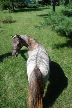 dun and roan brindle (Miniature horse mare) Barrel Racing Saddles, Barrel Racing Horses, Horse Saddles, Horse Halters, All The Pretty Horses, Beautiful Horses, Animals Beautiful, Rare Horses, Wild Horses