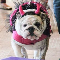 Mirra parading on the catwalk, Bulldogada SP, Halloween 2013! #uauhbulldogs #uauhhalloween Mirra desfilando na passarela, #bulldogadasp Halloween 2013! #igbulldogs #igbulldogs_brasil #igbulldogs_worldwide #incriveisdogs #bulldogs #bullylove #bulldogada #bulldoglover #bulldogsofig #bulldogingles #bullytroopsgang #bulldogworldwide #bulldogsofinstagram #bulldog_ig_community #englishbulldogs #englishbullsofinstagram #dogsofinstagram #Padgram