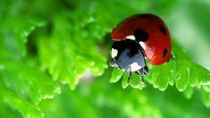 Ladybugs images Ladybug wallpaper HD wallpaper and background Fotografia Macro, Ladybug, Digital Camera, Hd Wallpaper, Insects, Photos, Photography, Image, Wallpaper In Hd