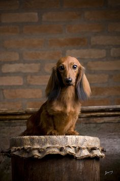 .formal doxie portrait. Absolutely gorgeous!!!