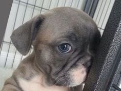A very Shy French Bulldog Puppy