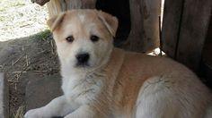 Husky mix puppy