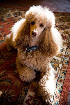 Aeowyn, the Kachina Mountain Lodge standard poodle & service dog of Taos Ski Valley.