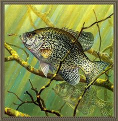 ~V_Gone fishing~M Susinno Wildlife Paintings, Wildlife Art, Fish Paintings, Fish Artwork, Red Fish Blue Fish, Crappie Fishing, Bass Fishing, Fishing Rods, Fish Quilt