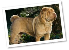 This lovable, protective breed originated in China around 200 BC to guard and hunt. The wrinkly Shar Pei makes a great family companion but needs proper socialization from puppyhood to get along with other dogs.