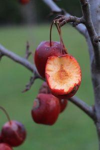 Crabapples, bird food in winter Bird Food, Fruit, Winter, Garden, Winter Time, Garten, Lawn And Garden, Gardens, Gardening