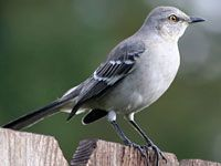 Adult Northern Mockingbird - Wikipedia